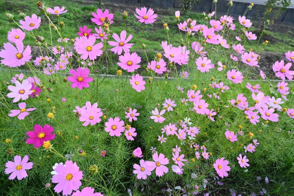 コスモスが咲いています♪
